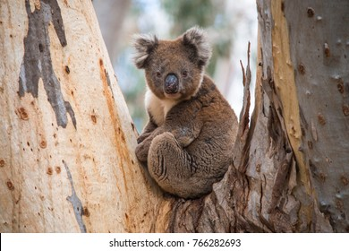 Kangaroo Island off the coast of South Australia has a wealth of wildlife and in the forests are these lovable koalas, roaming free and eating eucalyptus leaves.
