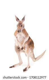 kangaroo isolated on white background studio shot red australian