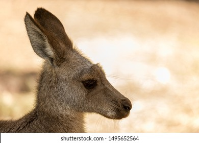 kangaroo joey looking in the distance