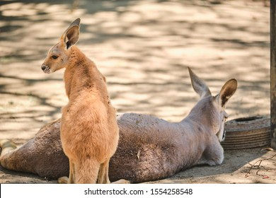Kangaroo Joey and Mum in captivity in the Gold Coast, Australia