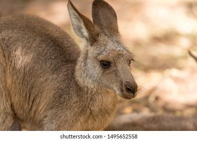 kangaroo joey waiting for his mum