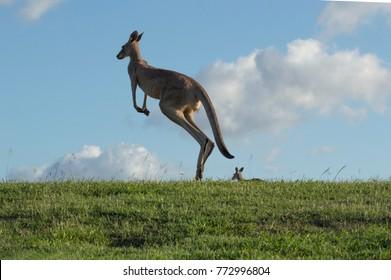 kangaroo jumps against blue sky