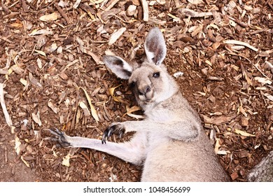 Kangaroo laying on the ground looking at you