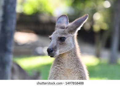 Kangaroo looking in another direction
