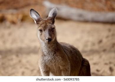 A kangaroo looks towards the camera. Close up portrait of Kangaroo's head and upper body. Perth, Western Australia.
