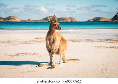 Kangaroo at Lucky Bay in the Cape Le Grand National Park near Esperance, Western Australia
