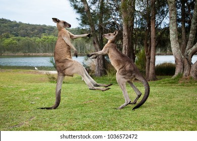 Kangaroo males boxing on the shore of a lake, Kangaroos fighting, kicking each other on green grass with scenic trees and lake view