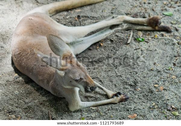 kangaroo, mammal, wildlife