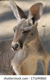 The kangaroo is a marsupial from the family Macropodidae (macropods, meaning 'large foot').