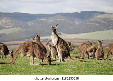 Kangaroo mob closeup with hills background.  Aldinga Scrub Conservation Park, South Australia.
