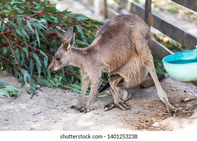 Kangaroo Mother with Baby Joey in Pouch