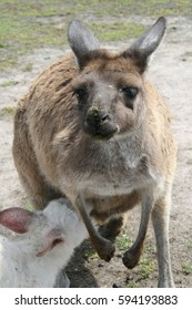 kangaroo mum nurse his albino baby, Australia