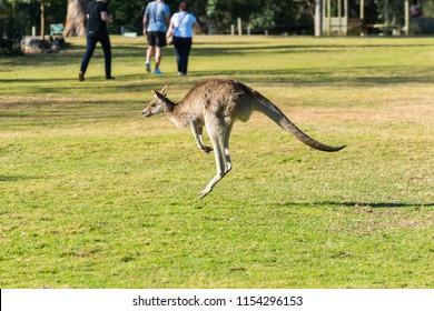 Kangaroo in the National Park, Brisbane, Australia
