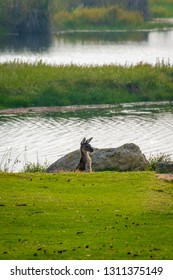 Kangaroo observing surrounding from a dent at Yanchep National Park West Australia