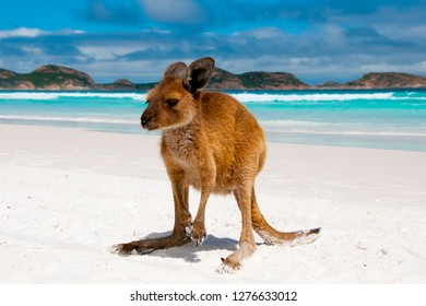 Kangaroo on Beach - Australia