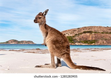 Kangaroo on the beach Australia