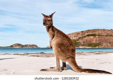 Kangaroo on the beach Australia