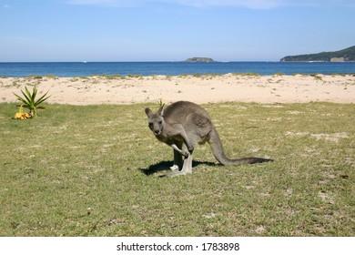 Kangaroo on the beach, Australia