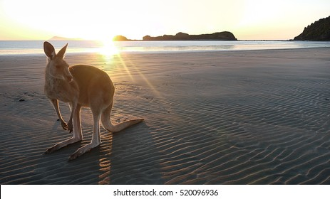 Kangaroo on a beach at Cape Hillsborough in Queensland, Australia