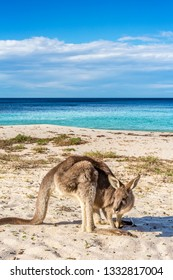 Kangaroo on the beach in NSW Australia