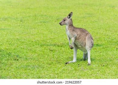 Kangaroo on the green grass