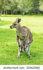 Kangaroo on the green grass