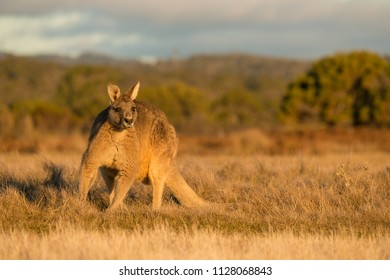 Kangaroo in open field during a golden sunset