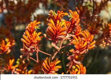 Kangaroo Paw Orange Flower, Anigozanthos in the garden under the sunshine