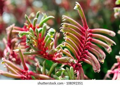 Kangaroo paw plants on display