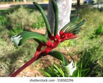 Kangaroo Paw Western Australian Wildflowers