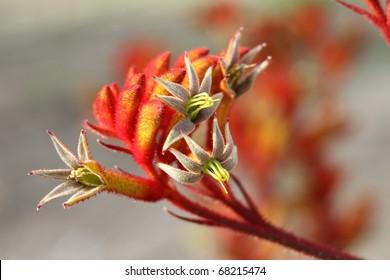Kangaroo paws flowers