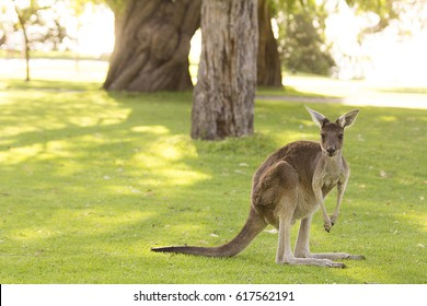 Kangaroo, Perth, Australia. Beautiful kangaroo standing and facing forward in an environment of spectacular vegetation in the golden hour.