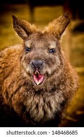 A kangaroo portrait