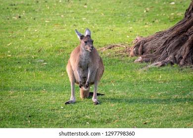 Kangaroo Portrait in Yanchep National Park West Australia
