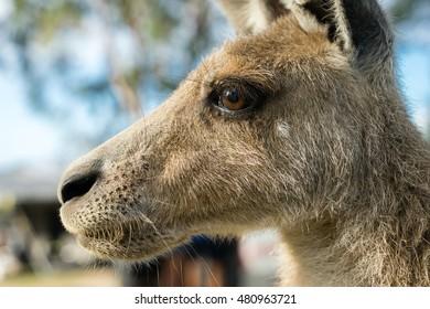 A kangaroo in profile in Australia
