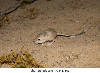 Kangaroo rat in Mojave desert