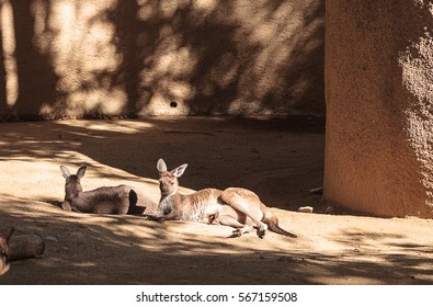 Kangaroo relaxes on the sand in front of rocks.