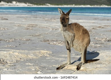 Kangaroo Relaxing on the Beach