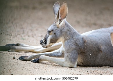 kangaroo relaxing on ground in the sun