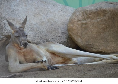 Kangaroo in resting position at the zoo