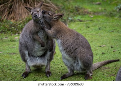 Kangaroo sharing some secret - Kangaroo in love - Kangaroo kissing its mate