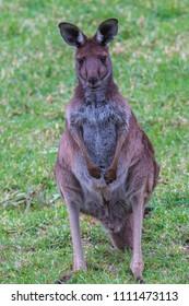 A kangaroo standing in a field