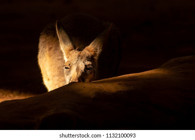 Kangaroo in the sunlight, behind a tree trunk, looking at the camera