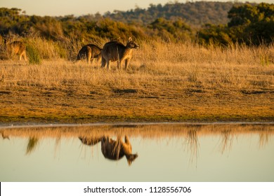 Kangaroo at sunset with reflections