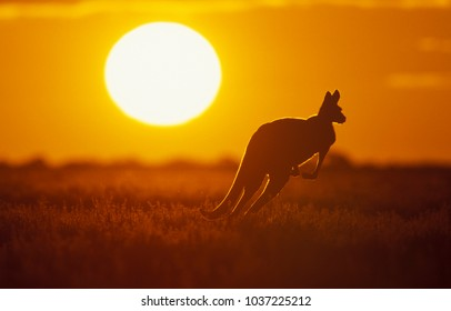 Kangaroo in Sunset in Sturt National Park in the far west of NSW