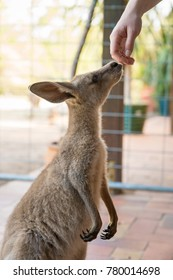 Kangaroo touching a human hand with it's nose
