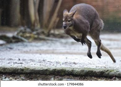 kangaroo while jumping close up portrait