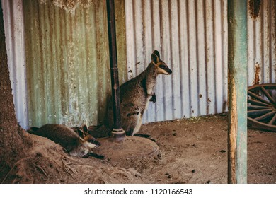 Kangaroo in a Wildlife park in Sydney, NSW, Australia