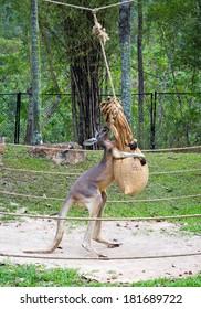 kangaroo in the zoo.