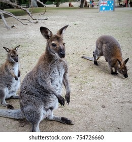 kangaroo in a Zoo